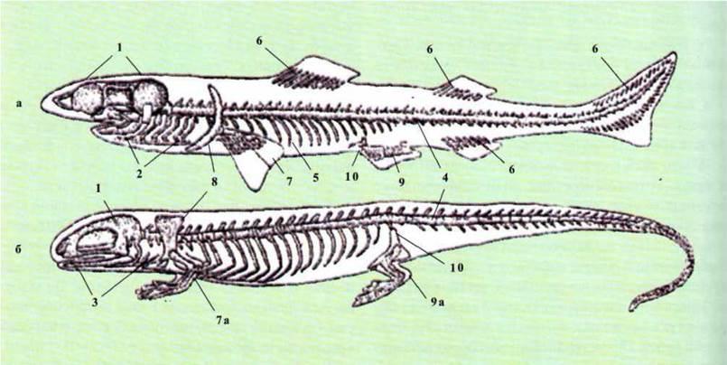(схема) (а - скелет риби;