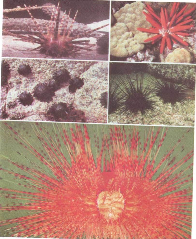 Рис 3 184 голкошкірі морські їжаки