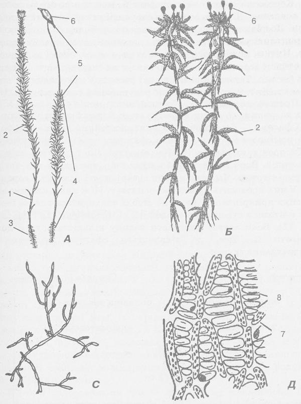 Схема будови мохоподібних: А
