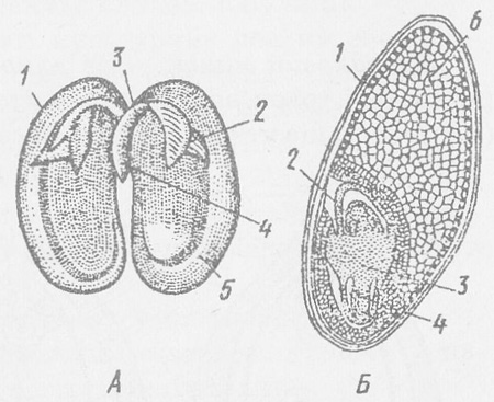 Схема будови насіння квасолі