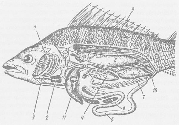 Будова риби.