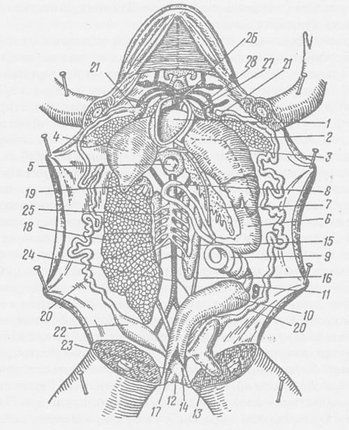 Анатомічна будова жаби: 1