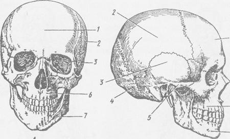 кістковою основою обличчя,