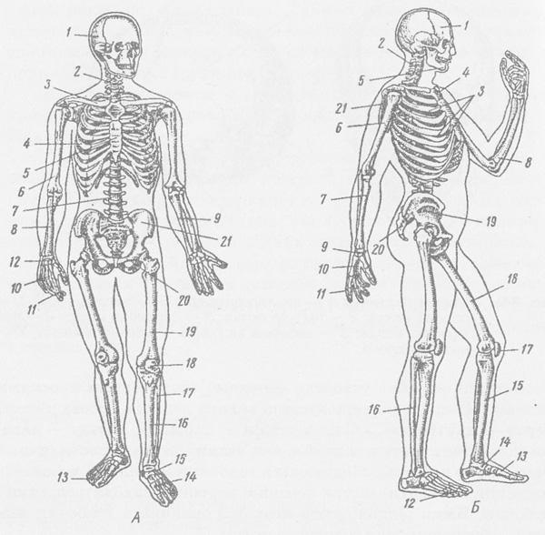 Скелет людини: А — вигляд