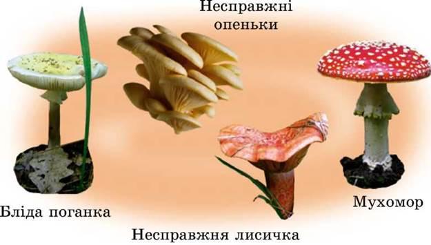 фото гриби лисички